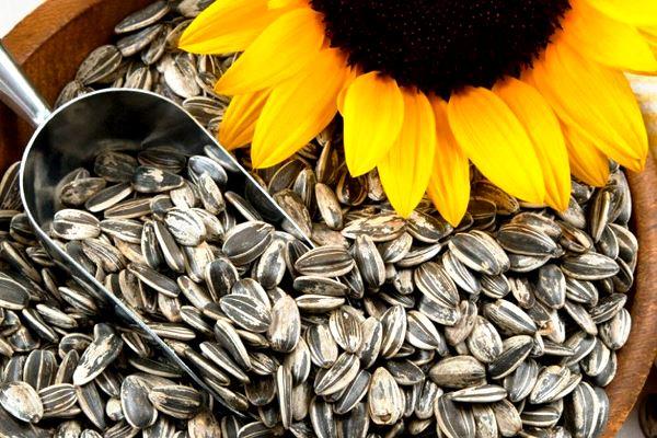 Выращивание, уход и цена подсолнуха