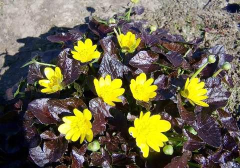 как выглядит цветок чистяк весенний фото