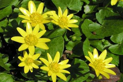 Чистяк весенний фото растения