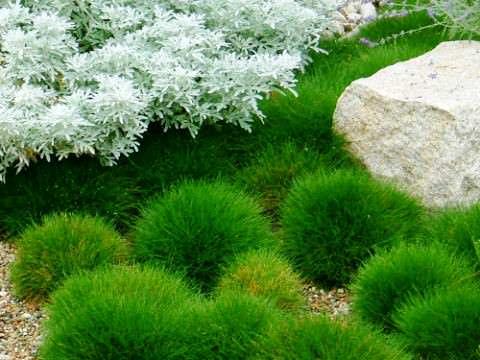 Выращивание овсяницы в саду