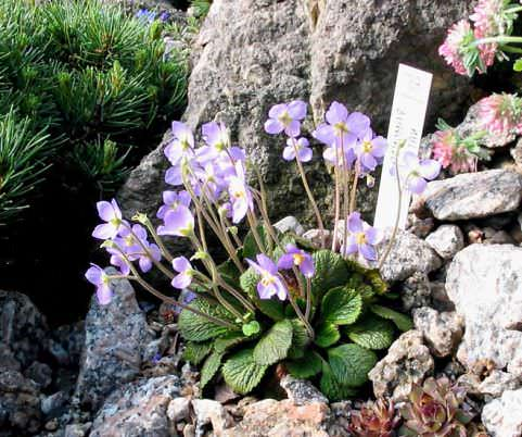 Цветок рамонда в саду