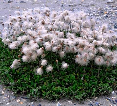 Дриада растение