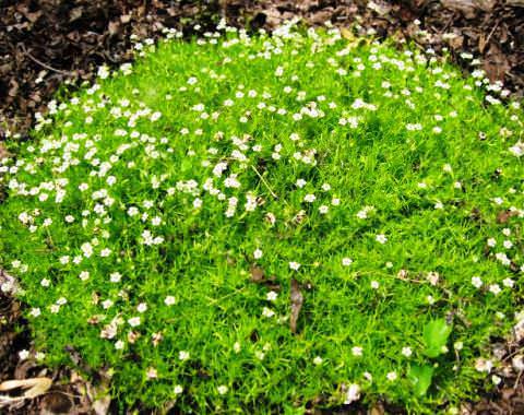 Мшанка-ирландский мох
