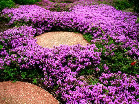 фото цветок чабрец