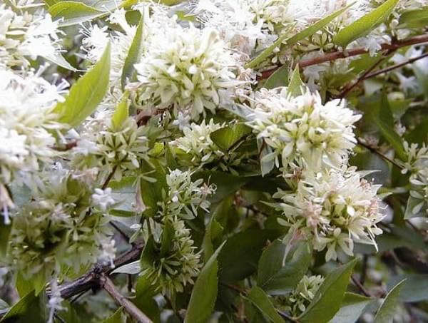 Abelia-chinensis