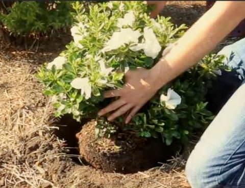 Садовая азалия -  уход в открытом грунте