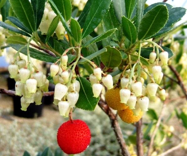 Земляничное дерево крупноплодное – описание, фото, уход и размножение