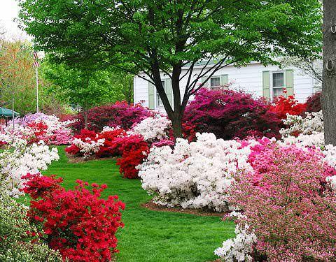 Садовые азалии