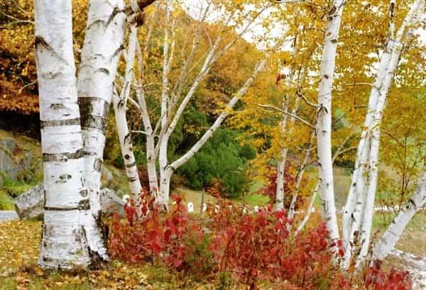 Betula paperifera