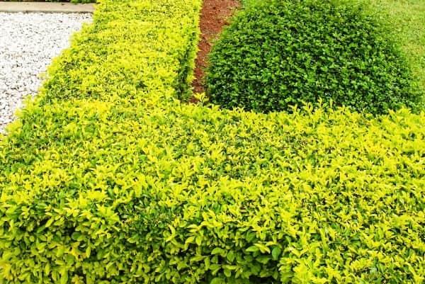 живая изгородь из бирючины фото