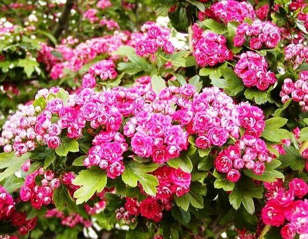 цветущий боярышник фото
