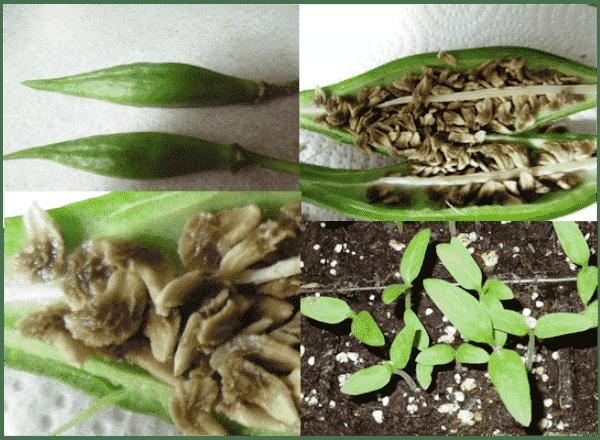 выращивание бругмансии из семян