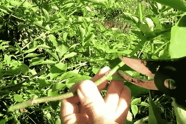 размножение бузины фото