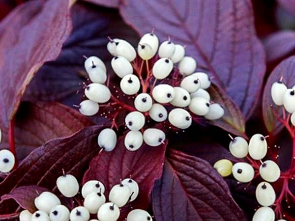 Дерен осенью фото