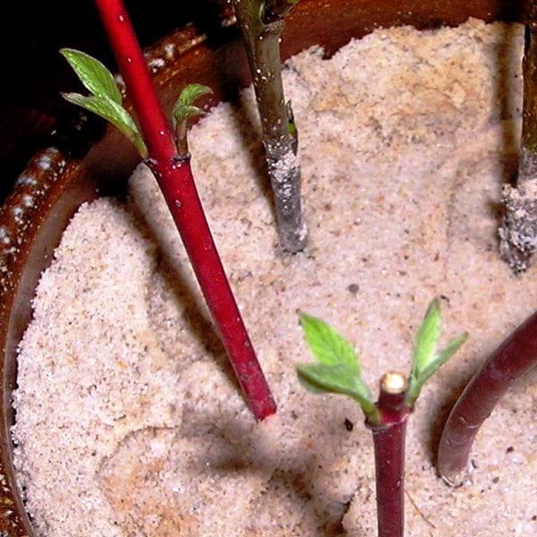 дерен размножение черенками весной