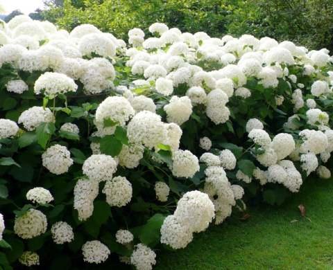 садовая гортензия анабель фото