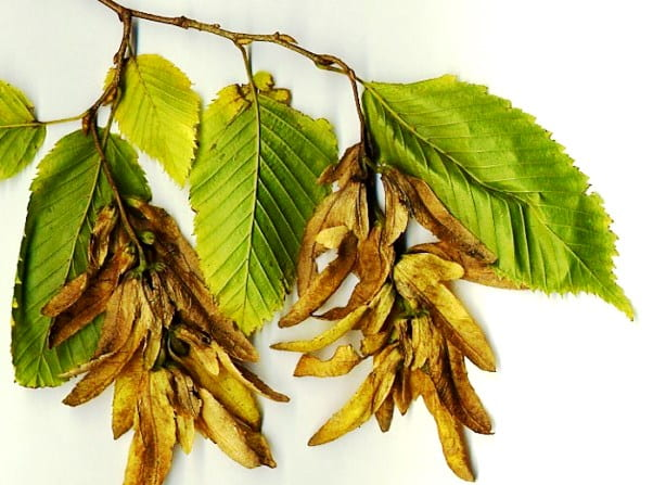 Дерево граб – описание, виды и сорта с фото, уход
