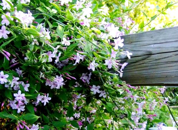 Jasminum × stephanense