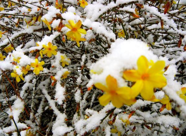 жасмин цветок виды фото