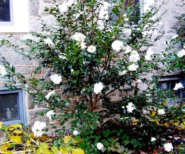 камелия садовая фото