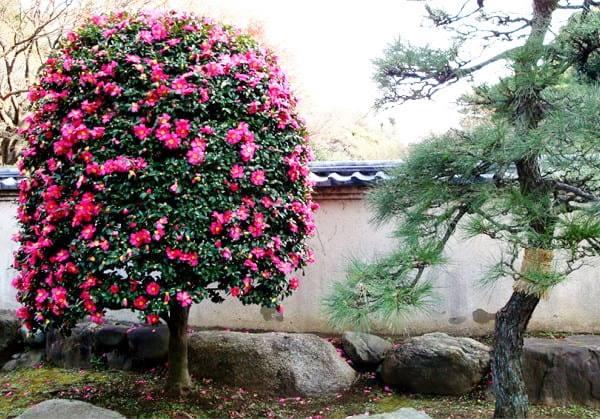 Камелия садовая – уход, посадка, описание и сорта с фото
