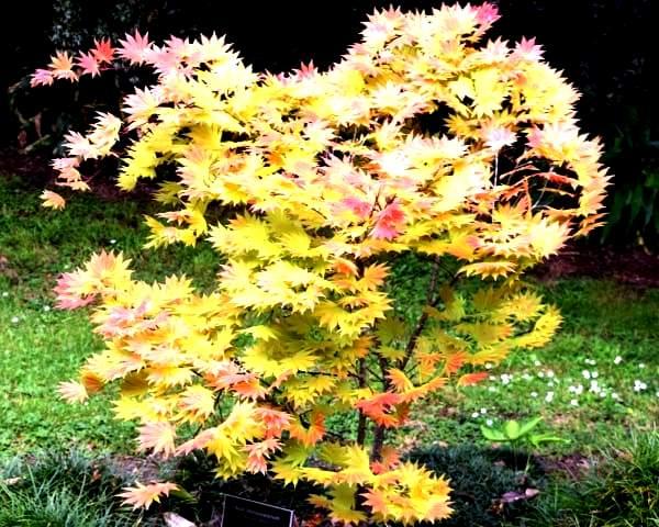 листья японского клена фото