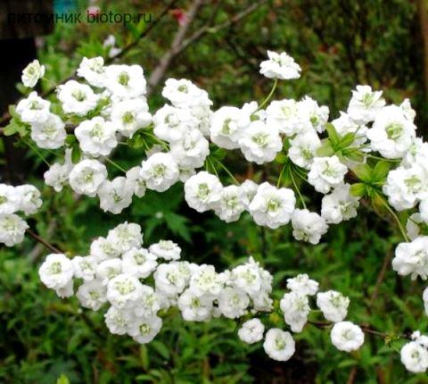 S. prunifolia