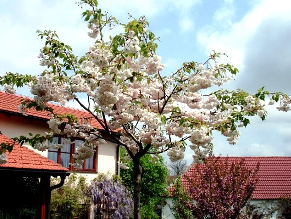 Prunus-SHIROFUGEN