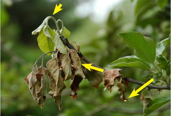 болезни вишни фото