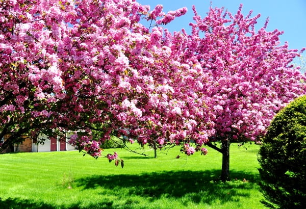виды вишни фото и описание