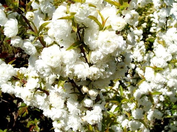 Sakura alba-plena