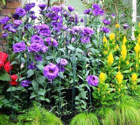 эустома в саду фото