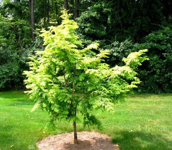 /Metasequoia-glyptostroboides--Ogon