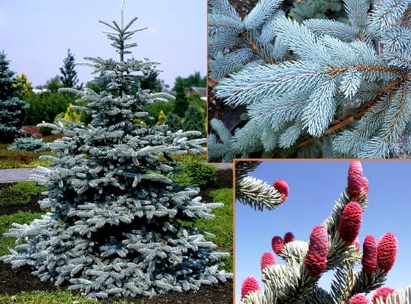 Picea pungens