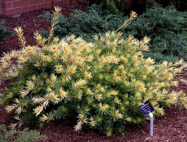 Pinus-parviflora-Ogon-Janome