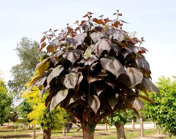 Catalpa × erubescens
