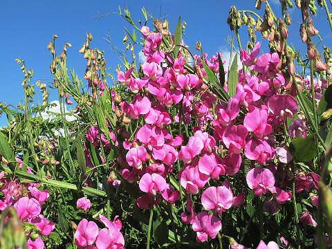 Чину широколиста вирощування з насіння