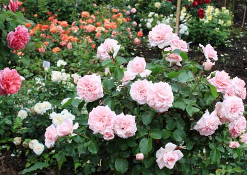 Виды и популярные сорта роз