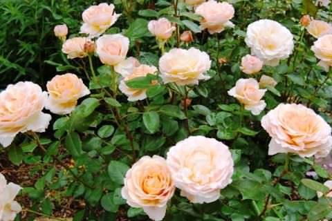 популярные сорта роз и виды
