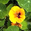 Nasturtiums Reviews