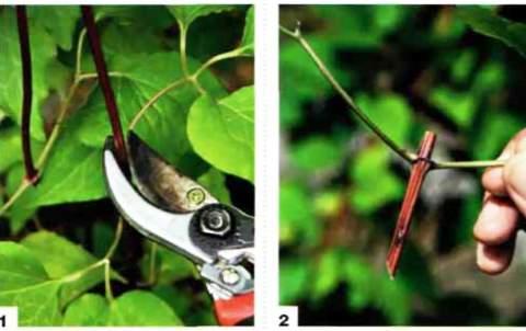 размножение клематиса черенками