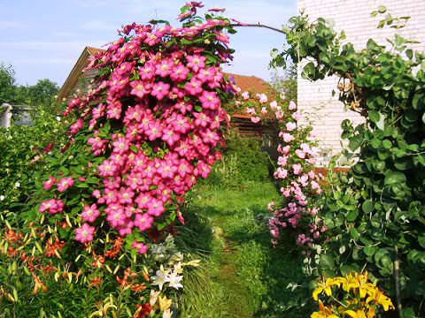 клематис в саду