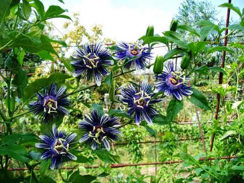 Выращивание пассифлоры в саду