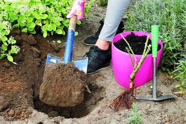 Условия посадки саженцев роз в открытый грунт с фото