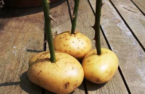 роза из черенка в картошке