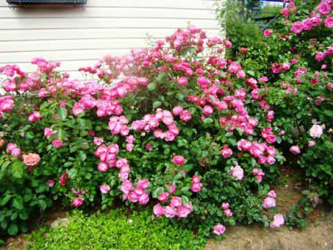 виды и сорта розы