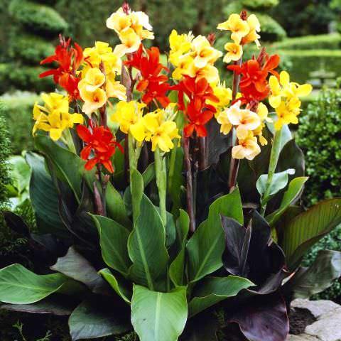 цветы фото канны