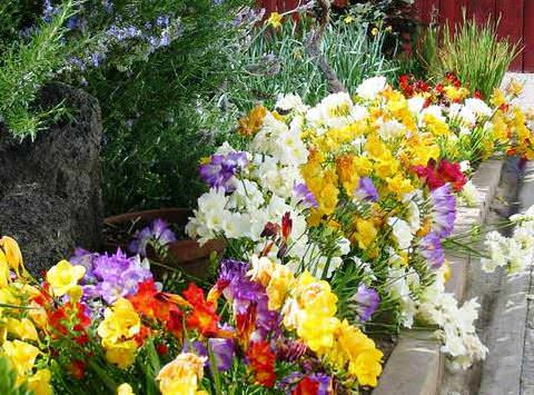 выращивание фрезии в саду