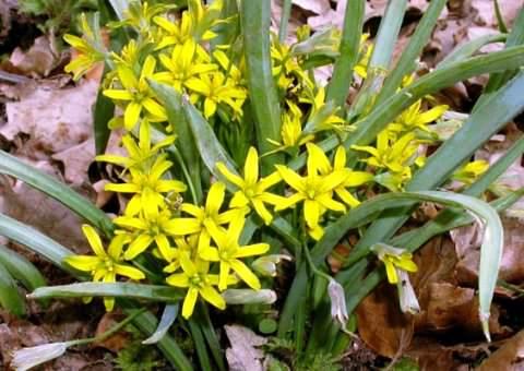 Цветок Гагеа фото