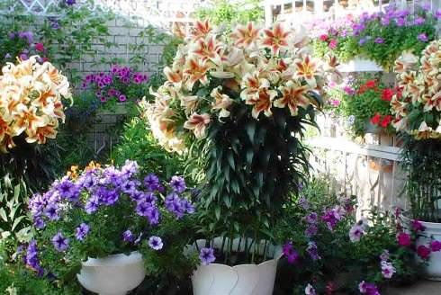 Лилии садовые. уход